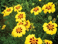 PHOTO BY HEATHER JO FLORES - Tagetes patula.