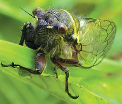 PHOTO BY ANTHONY WESTKAMPER - The male cicada's song is meant to woo the ladies — fast.