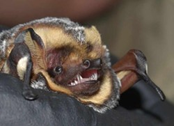 18dd16f9_hoary_bat_-_photo_by_ted_weller.jpg
