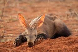 aardvark_jpg-magnum.jpg