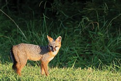 U.S. FISH AND WILDLIFE SERVICE - Gray fox.