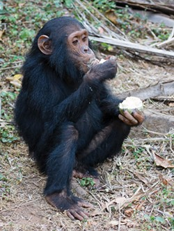 IKIWANER, GNU FREE DOCUMENTATION LICENSE - A juvenile chimpanzee eats fruit in Gombe Stream National Park, Tanzania.