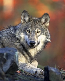 1921fe43_wolf_wikimedia_commons.jpg