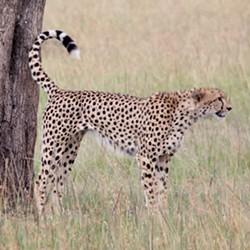 b88f886b_cheetah_scent_marking_feb2014_-square.jpg