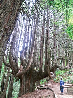 PHOTO BY BARRY EVANS - Candelabra redwood tree on the new Peter Douglas trail near Usal beach.