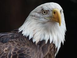 57a457a1_eagle.png