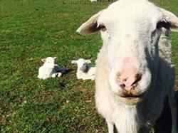 e671c89b_lillian_and_lambs_.jpg