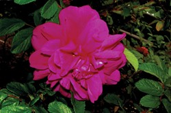 PHOTO BY DONNA WILDEARTH - The author's low-maintenance rose: Rosa rugosa 'Hansa.'