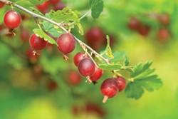 SHUTTERSTOCK - Gooseberries