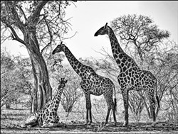 """African Giraffes"" Photograph by Jim Lowry."