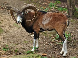 PHOTO BY JÖRG HEMPEL, CREATIVE COMMONS - Mouflon, Ovis orientalis, ancestor of the modern domesticated sheep.