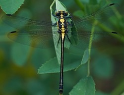 PHOTO BY ANTHONY WESTKAMPER - A female grappletail, or Octogomphus specularis, newly emerged..