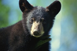THINKSTOCK - Black bear cub