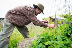 MARK MCKENNA - Pressey training hops vines.