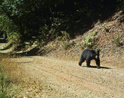 12ec6a84_bear_on_our_rd_cropped.png
