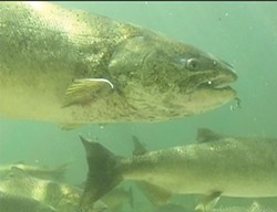 PHOTO BY NATHANIEL PENNINGTON - A spring run Chinook in the Salmon River.