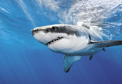 SHUTTERSTOCK - Great white shark