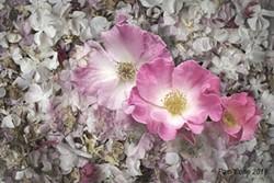 3cafbba7_pink_roses_for_umpqua.jpg