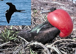 PHOTOS BY BARRY EVANS - The magnificent male Fregata magnificens or frigate bird on Santa Cruz Island in the Galapagos, with its red gular pouch inflated to attract females. Inset: same species, Yelapa, Mexico.