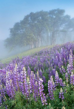 GREG NYQUIST - Lupine in bloom near Bald Hills Road.