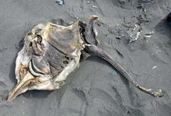 PHOTO BY MIKE KELLY - Dead big skate.