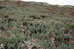 Dune mat vegetation at the Lanphere Dunes Unit of the Humboldt Bay National Wildlife Refuge. Photo by Emily Walter.
