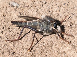 ANTHONY WESTKAMPER - A robber fly in all its ugly glory.