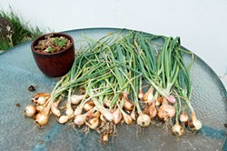 PHOTO BY KATIE ROSE MCGOURTY - Plan for a glut of garlic.