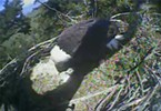 Update: Hatched! Check Out Humboldt's Bald Eagle Babies (2)