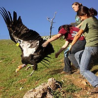 Fixing the World Ventana Wildlife intern Kristy Markowitz (front), Yurok Tribe wildlife technician Tiana Williams (center) and Ventana field technician Sayre Flannigan release a California condor in Big Sur. Photo by Chris West