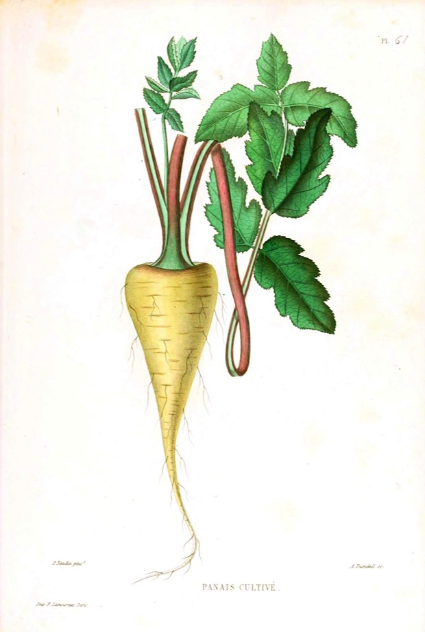 Vintage parsnip illustration