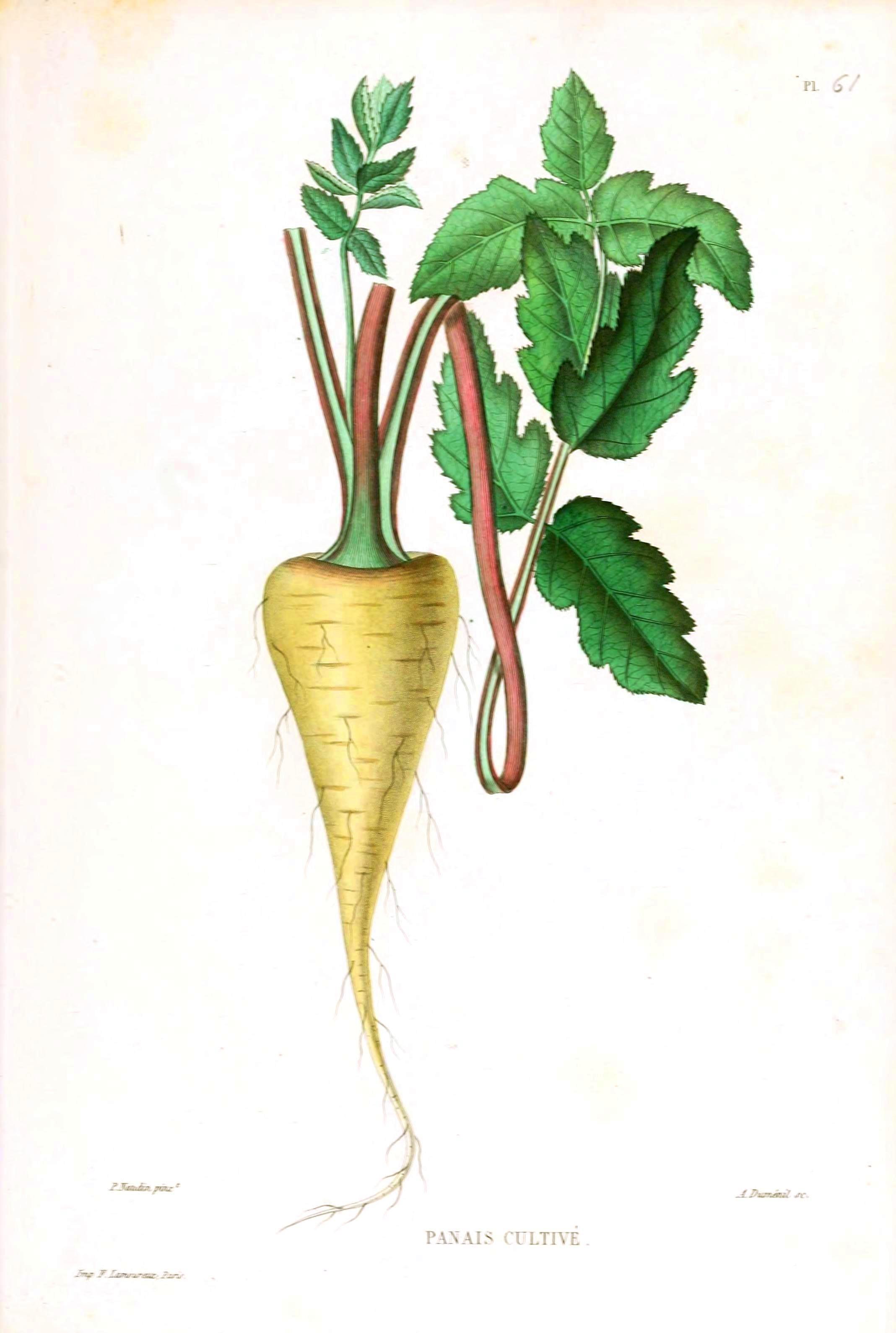 Vintage parsnip illustration