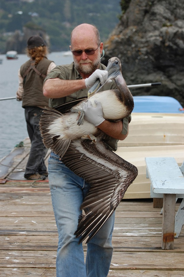 Volunteer Jim Moore carries an ailing pelican in Trinidad last month, as Monte Merrick of the Bird Ally X rescue group works behind him with a net. - PHOTO BY DREW HYLAND