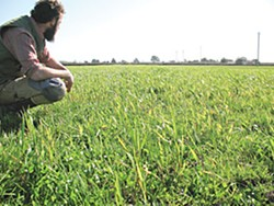 Wheat field. Photo by Melanie Olstad