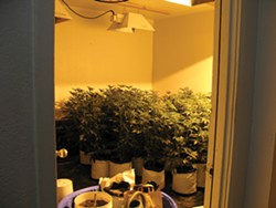 PHOTO COURTESY OF EUREKA POLICE DEPARTMENT. - While executing a search warrant in September 2011, Eureka police found 66 marijuana plants.