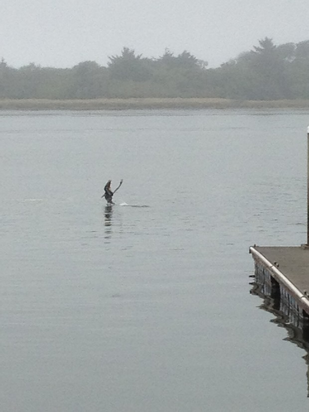 Yes, that's a pelican, caught mid-crazy-dive at the Eureka public marina. - PHOTO BY HEIDI WALTERS