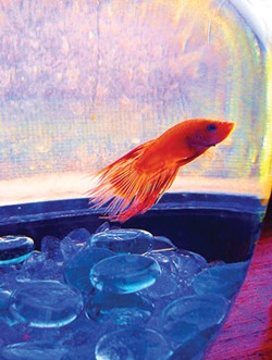 """You can catch Mary Elise Conzelmann's super-saturated fish at the """"Point of View"""" show at McKinleyville High School."""