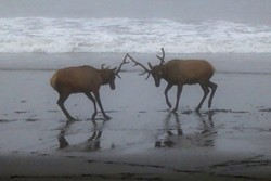 Young bulls play-fight on a foggy July morning at Usal Beach in the Sinkyone Wilderness.