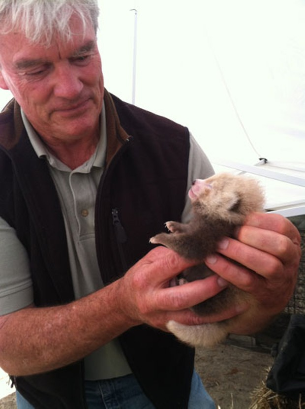 Zoo veterinarian Dr. Kevin Silver examines the young Red panda cub at Sequoia Park Zoo. - AMANDA AUSTON