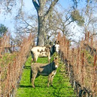 As the first Regenerative Organic Certified winery, Tablas Creek is committed to farming like the world depends on it