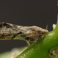 An uncivil psyllid: SLO County gets a jump on a bug recently discovered in Arroyo Grande