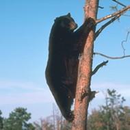 Bear hunting plan draws fire