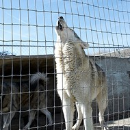 Home for wolves in fight over home