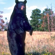 Bears walk among us