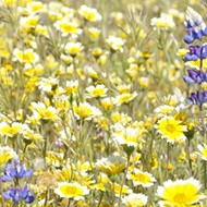 Anything but plain: The barren landscape of Carrizo Plain comes alive with color in wildflower season