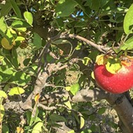 Into the orchard: Go apple picking at  SLO Creek Farms
