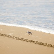 The Oceano Dunes moves to get in compliance with the Endangered Species Act