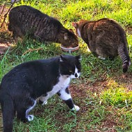 CAT-astrophe averted! How a dedicated group of cat lovers has controlled SLO county's feral cat population