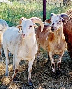 BIODYNAMIC Tablas Creek Vineyard incorporates animals into farming operations to help give the soil new life, enabling it to capture carbon from the atmosphere and hold water more effectively. - PHOTOS COURTESY OF TABLAS CREEK VINEYARD