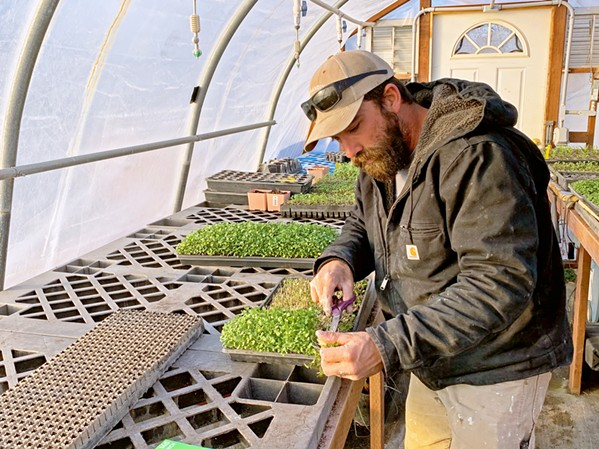 PASSION FOR GREENS Templeton Hills Community Farm Manager Matt Giese harvests microgreens on a recent Thursday. - PHOTO BY CAMILLIA LANHAM
